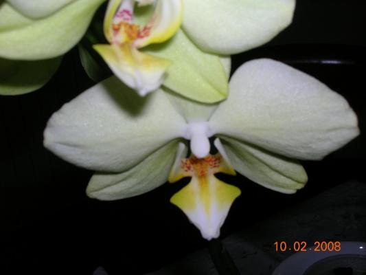phlaenopsis