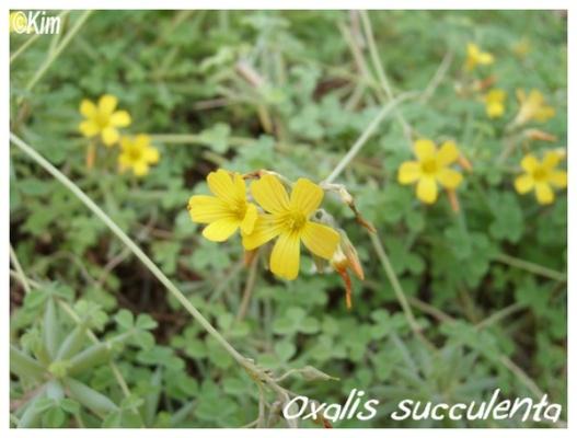 oxalis succulenta