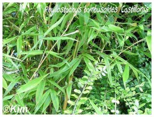 phyllostachys bambusoides 'castillonis'