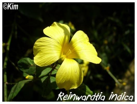 reinwardtia indica