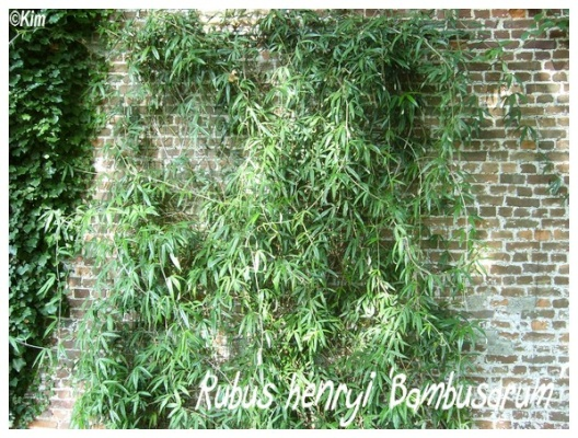 rubus henryi 'bambusarum'