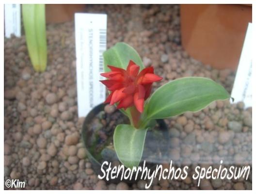stenorrhynchos speciosum