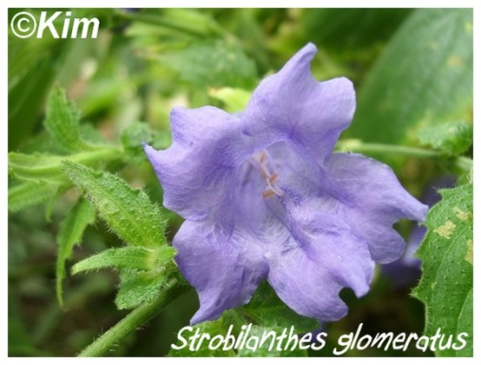 strobilanthes glomeratus