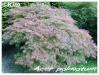 Plantes de terre acide Acer_p15