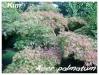 Plantes de terre acide Acer_p16