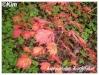acer palmatum 'aconitifolium'