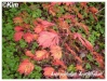 Plantes de terre acide Acer_p17