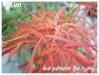 Plantes de terre acide Acer_p19