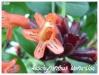 aeschynanthus 'mona-lisa'