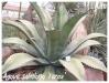 agave salmiana 'ferox'