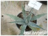agave durangensis