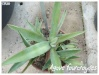 agave fourcroydes