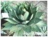 agave ghiesbreghtii