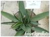 agave legrelliana