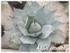 agave peacockii