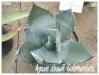 agave shawii 'goldmaniana'