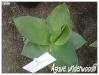 agave underwoodii
