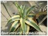 agave americana 'variegata compacta'
