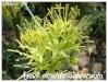 agave cerulata 'subcerulata'