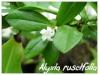 alyxia ruscifolia