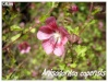 anisodontea capensis