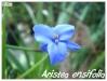 aristea ensifolia