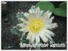 astrophytum ornatum 'glabrescens'
