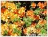Plantes de terre acide Azalea15