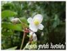 begonia grandis 'evansiana'