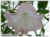 brugmansia 'rosa traum'