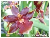 Orchidées et carnivores Cambri11