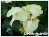 canna fleur