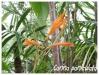 canna paniculata
