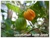 Zones USDA 9 à 12 Capsic10