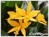Orchidées et carnivores Cattle10