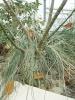 Cochlospermum hibiscoides