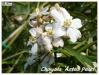 choysia 'aztec pearl'