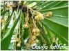 clavija latifolia