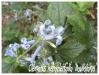 clematis heracleifolia 'davidiana'