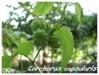 corchorus capsularis