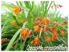 crocosmia crocosmiiflora