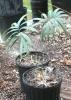 cycas mongnochiae