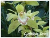 cymbidium 'ceres'