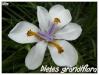 dietes grandiflora