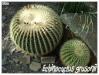 Cactacées et autres xérophytes Echino10