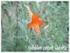 epilobium canum 'catalina'