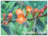Cactacées et autres xérophytes Euphor17