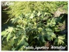 fatsia japonica 'annelise'