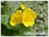 caltha palustris