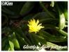 glottiphyllum longum